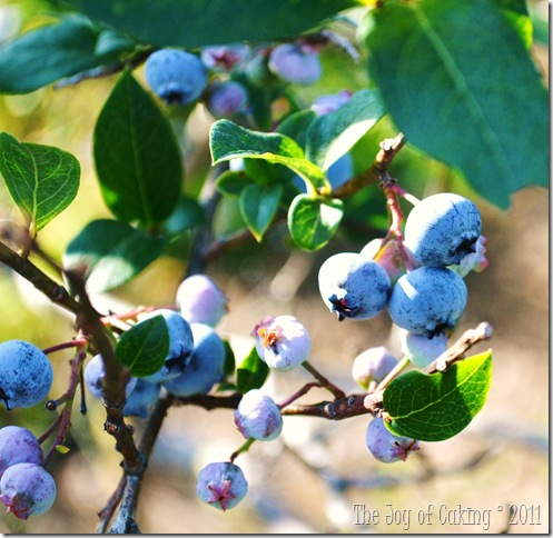 blueberries 017