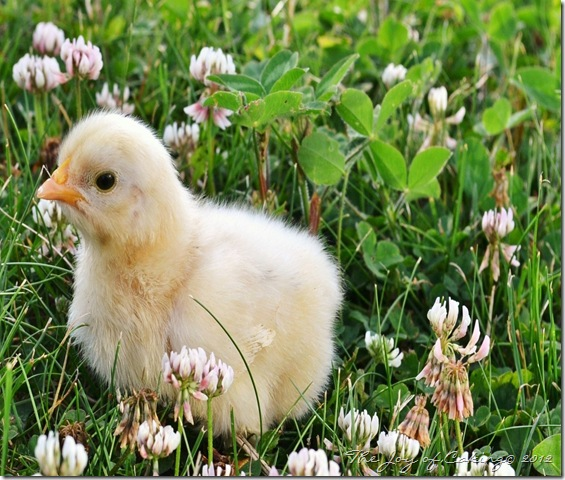 baby chicky 012